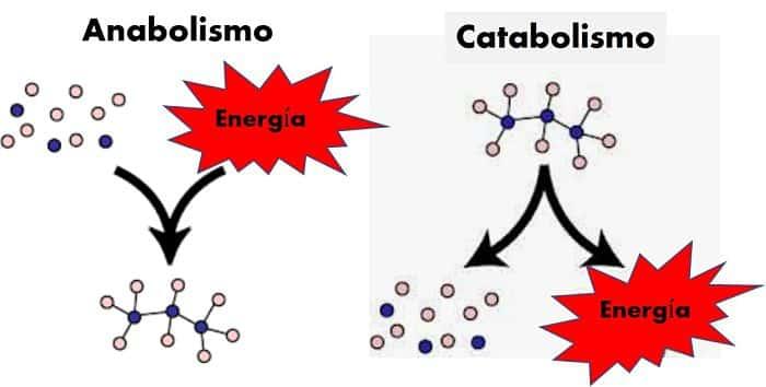 2.1.1 Concepto de anabolismo y catabolismo - Curso en..